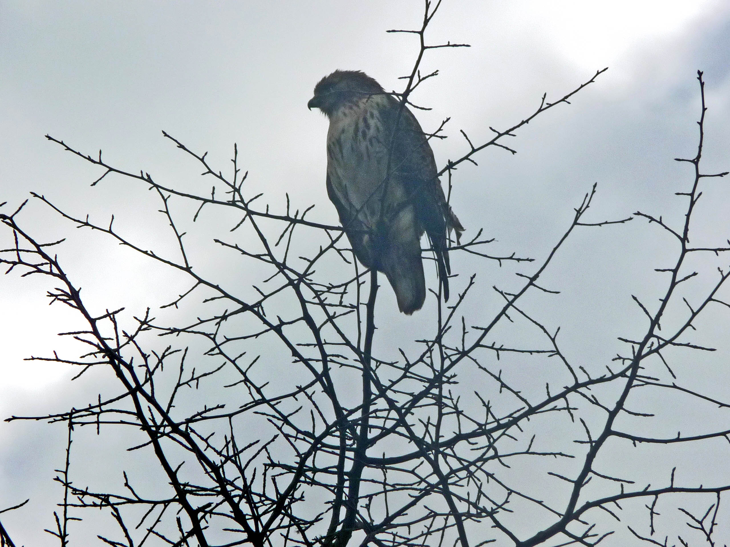 My husband's best shot of the hawk
