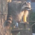 Raccoon in squirrel feeder
