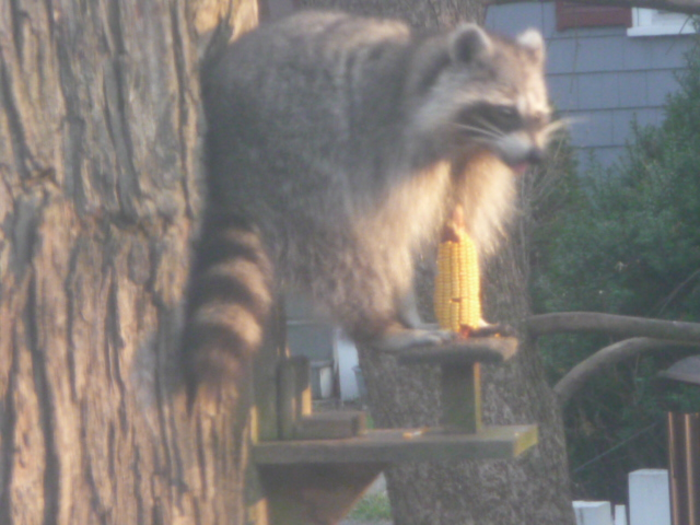 Raccoon in squirrel feeder
