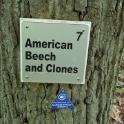 American beech and clones